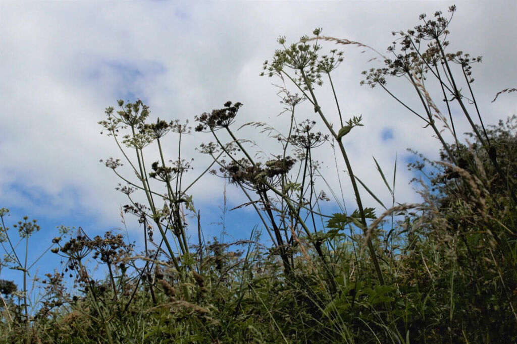 wildflower seed heads against a blue sky